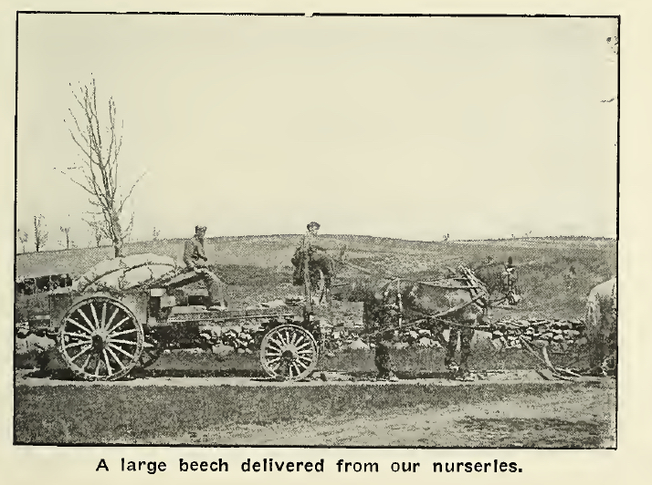 A Delivery from the Thurlow's Cherry Hill Nursery 1916