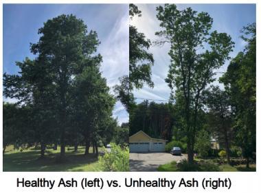 Healthy vs. Unhealthy Ash