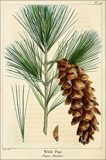 Eastern White Pine needles