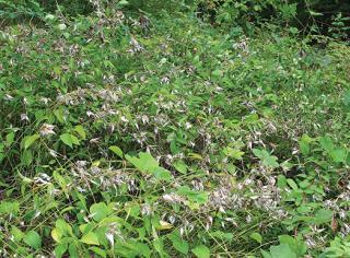 Black Swallow Wort Overtaking A Field
